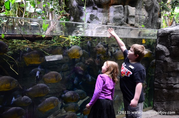 Samuel and Claire looking at Piranhas